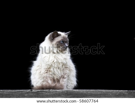 Birma cat with beautiful blue eyes in front of a black background