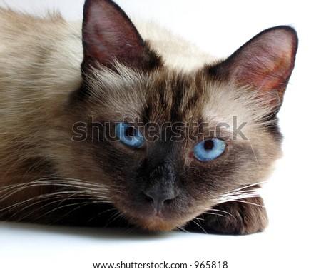birman blue-eyed cat - stock photo