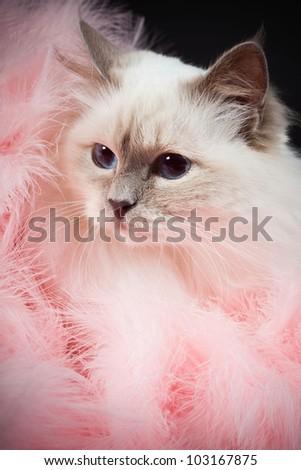 Birman cat isolated on black background. Studio shot. - stock photo