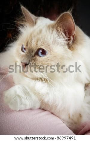 Birman cat lying on shoulder - stock photo