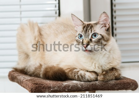 Birman cat male lying on the top of the scratching post - stock photo