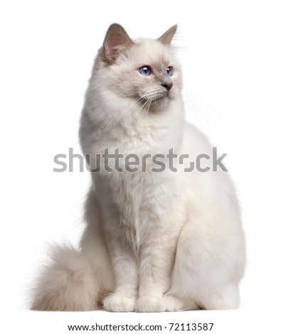 Birman cat, 9 months old, in front of white background - stock photo