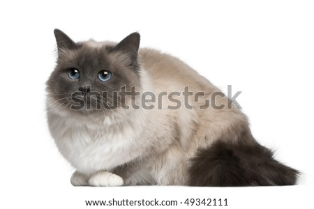 Birman cat, 17 months old, sitting in front of white background