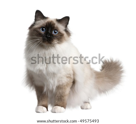 Birman cat, 11 months old, sitting in front of white background - stock photo
