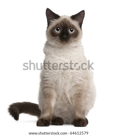 Birman cat, 5 months old, sitting in front of white background - stock photo