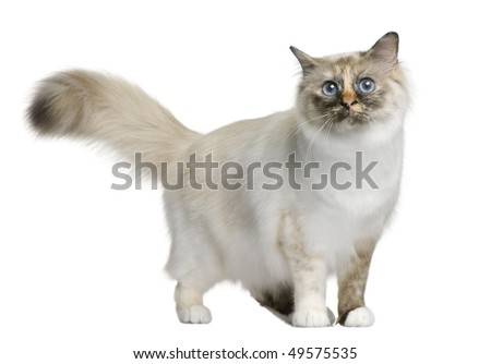 Birman cat, 11 months old, standing in front of white background - stock photo