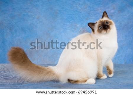 Birman cat on blue background - stock photo