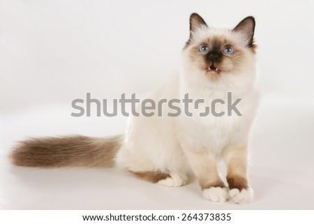 Birman cat sitting on white background looking sideways, - stock photo