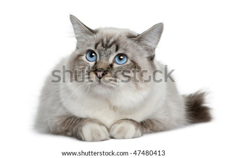Birman in front of a white background - stock photo