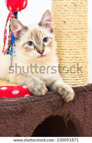 Birman kitten laying on the scratch post with a toy