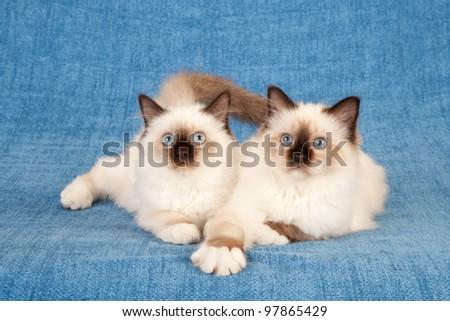 Birman kittens lying down on blue background - stock photo