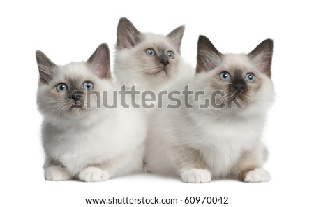 Birman Kittens, 2 months old, sitting in front of white background - stock photo