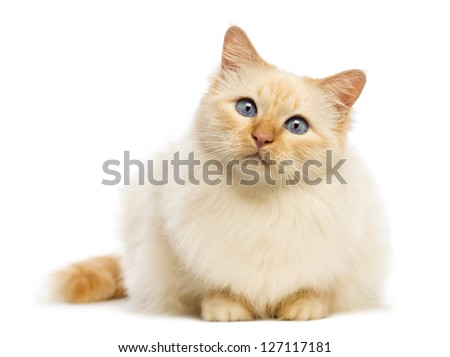 Birman lying and looking at camera against white background - stock photo