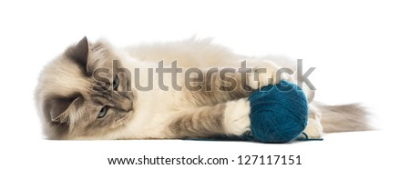 Birman lying and playing with ball of wool against white background - stock photo
