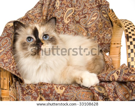 Birman sealpoint tortie cat on brown fabric chair, on white background - stock photo