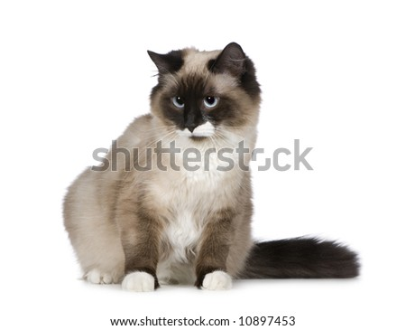 Birman (1 years) in front of a white background