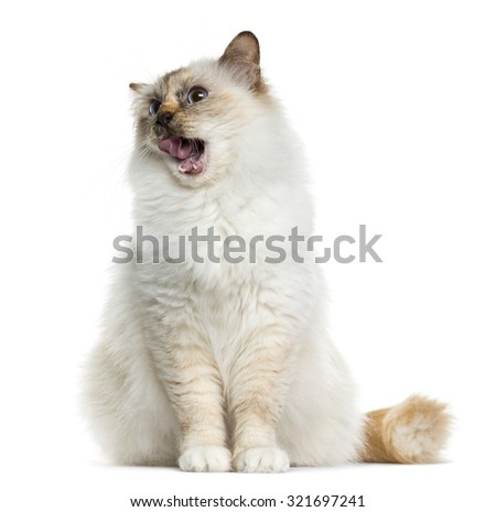 Birman (4 years old) sitting in front of a white background - stock photo