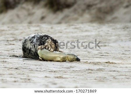 Birth of a grey seal at the beach of Helgoland