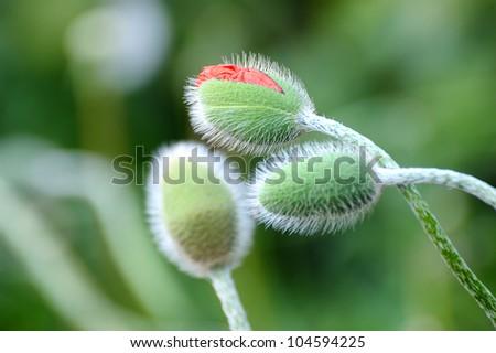 Birth of a Poppy - stock photo