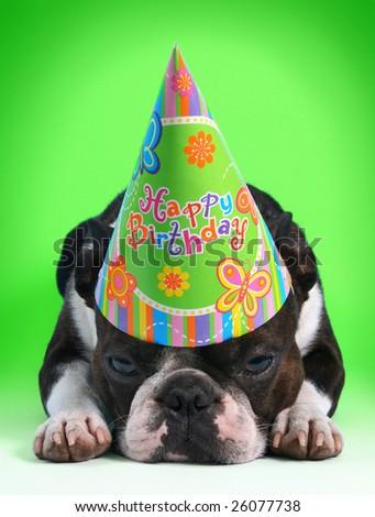 birthday dog - stock photo