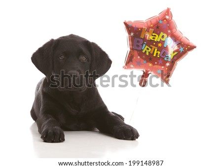 Best Lab Black Adorable Dog - stock-photo-birthday-dog-adorable-black-lab-puppy-with-a-birthday-balloon-isolated-on-white-199148987  Gallery_589012  .jpg