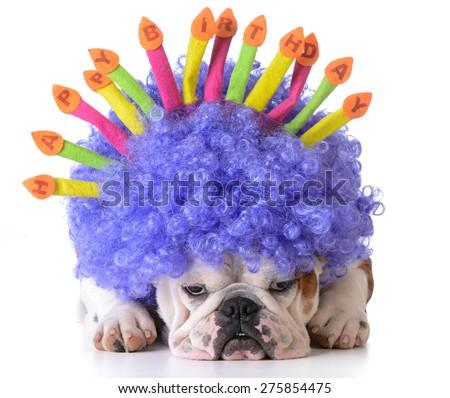 birthday dog - bulldog wearing clown wig and birthday hat on white background - stock photo