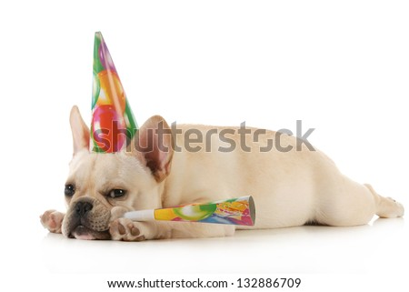 birthday dog - grumpy french bulldog wearing birtdhay hat blowing on horn isolated on white background - stock photo
