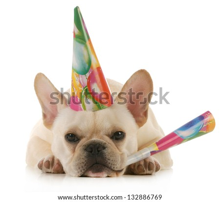 birthday dog - grumpy french bulldog wearing birthday hat blowing on horn isolated on white background - stock photo