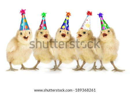 Birthday Yellow Baby Chicks Lined Up - stock photo