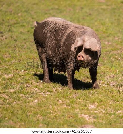 Bisaro Pig - stock photo