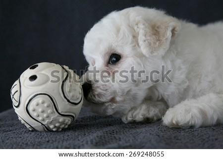 Bishon Frise puppy  - stock photo