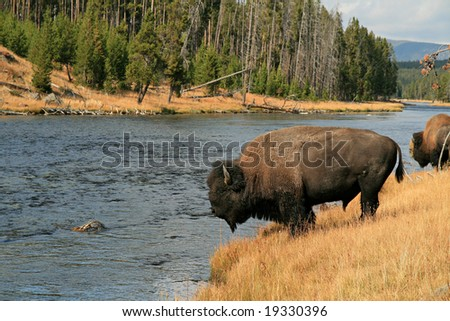 Bison along a river in Yellowstone - stock photo