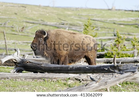Bison along Fountain Flat Drive, Yellowstone National Park, Wyoming - stock photo
