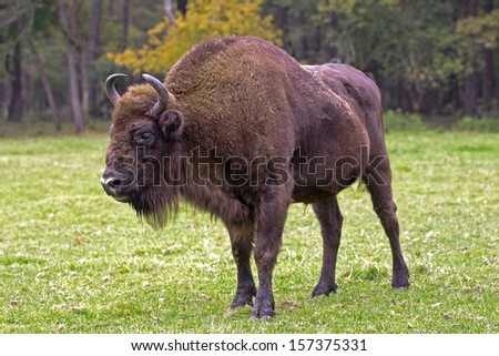 Bison - animals that live in nature reserves in Europe are under the protection of - stock photo