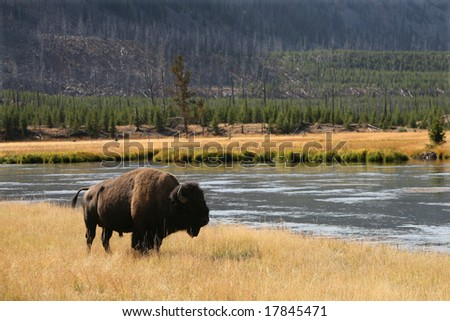 Bison (buffalo) at Yellowstone National Park