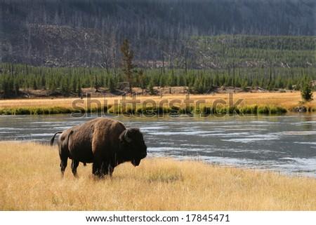 Bison (buffalo) at Yellowstone National Park - stock photo