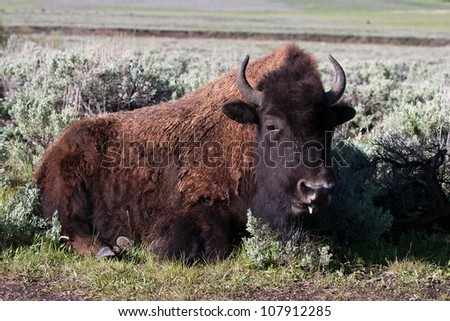Bison (Buffalo) Bedding Down - stock photo