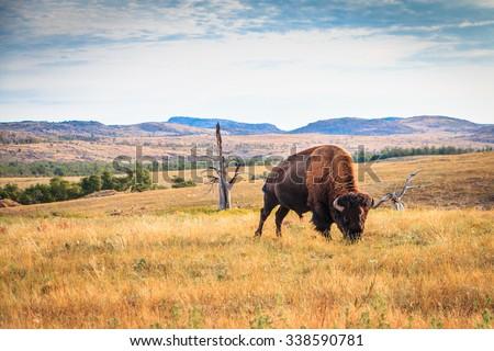 Bison buffalo grazing in the Wichita Mountains, Oklahoma  - stock photo