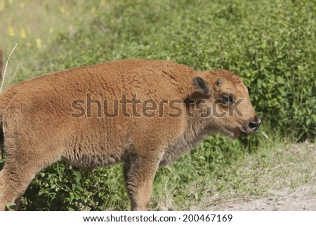 Bison Calf at the National Elk and Bison Range in Montana - stock photo
