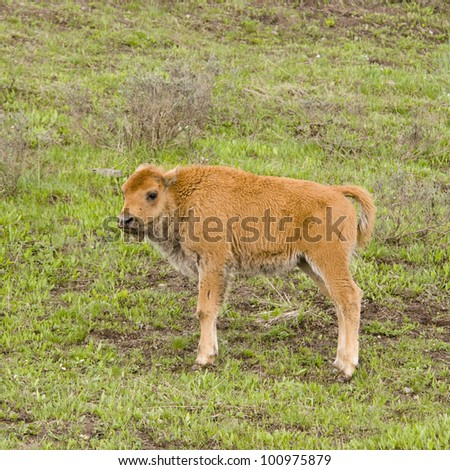 Bison Calf in Yellowstone National Park - stock photo