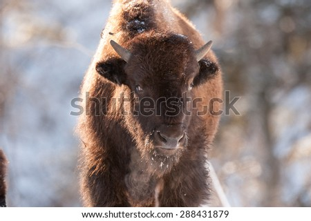 Bison close up, full face view of a young bison and his breath in the cold winter tempuratures - stock photo