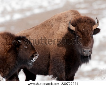 Bison cow and calf in cold winter weather in Yellowstone National Park - stock photo