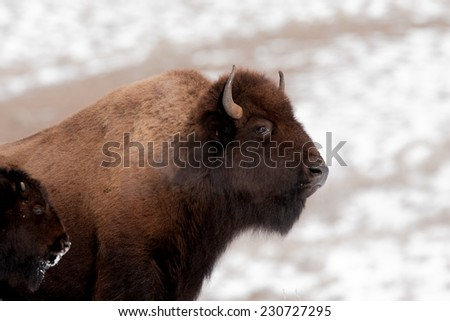 Bison cow and calf in cold winter weather in Yellowstone National Park, breath showing because of cold tempuratures - stock photo