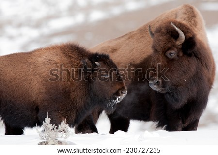 Bison cow and calf looking at each other in cold winter weather in Yellowstone National Park - stock photo