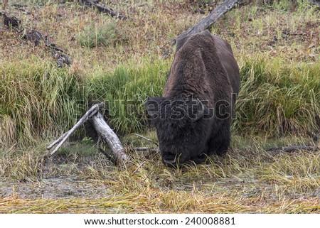 Bison Drinking in Marsh - stock photo