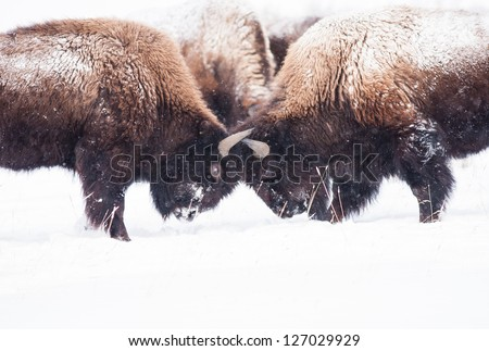 Bison during winter in Yellowstone play-fighting. - stock photo