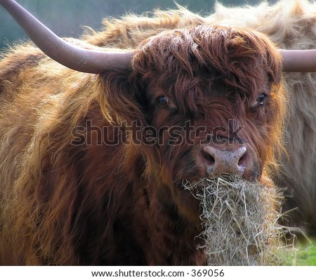 Bison eating grass - stock photo