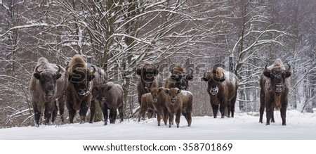 Bison family in winter day in the snow  - stock photo