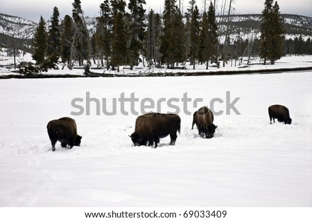 Bison found in Yellowstone National Park in the winter. - stock photo