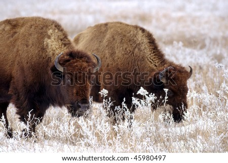 Bison graze on grasses coated in frost and snow.